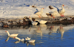 Embden geese, Wintertime Stock Photos
