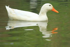 Embden goose Stock Photography