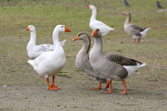 Embdens & Geese. Geese having a conversation stock photography