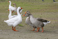 Embdens & Geese. Geese having a conversation stock images
