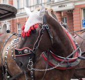 Embellished horse. Coach brown draft horse festively decorated Royalty Free Stock Photo