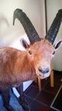 Stuffed steinbock. A embelmed alpine ibex in a hotel in switzerland royalty free stock photo