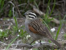 Emberiza capensis (Cape bunting) Royalty Free Stock Image