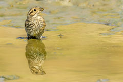 Emberiza cirlus female. Drinking water Royalty Free Stock Image