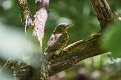 Emberiza citrinella 雏鸟鸟 免版税图库摄影