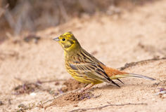 Emberiza citrinella Stock Images