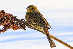 Emberiza citrinella feeding on winter day Stock Photo