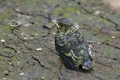Emberiza citrinella. Fledgling bird buntingl. Royalty Free Stock Photos