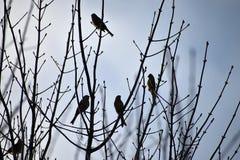 Emberiza citrinella Kierdel ptaki na gałąź kwiat czasu zimy śniegu obrazy stock