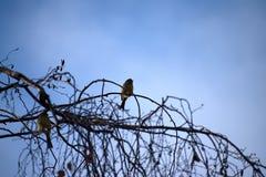 Emberiza citrinella Ptaki target245_1_ na gałąź kwiat czasu zimy śniegu fotografia royalty free