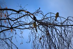 Emberiza citrinella Ptaki target245_1_ na gałąź kwiat czasu zimy śniegu fotografia stock