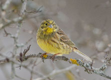 Emberiza citrinella Stock Photo