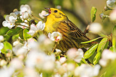 Emberiza citrinella singing the song of spring flowers Stock Photo