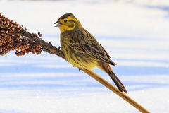 Emberiza citrinella on a stalk of sorghum Stock Photos