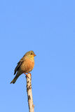 Emberiza hortulana Stock Photo