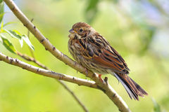 Emberiza pusilla. Baby bird Royalty Free Stock Images