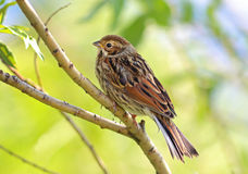 Emberiza pusilla (Pallas, 1776) Royalty Free Stock Photo