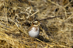 Emberiza rustica. A Emberiza rustica autumn afternoon Royalty Free Stock Image