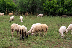 Emblavage de moutons dans le pré Images stock