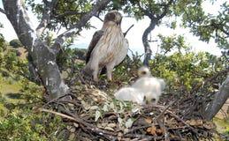 Emboîtement d'aigle avec une allée et des poulets Photographie stock libre de droits
