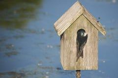 Emboîtement d'hirondelle dans la maison d'oiseau Images libres de droits