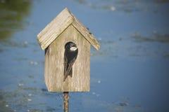 Emboîtement d'hirondelle dans une maison d'oiseau Image libre de droits