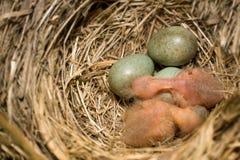 Emboîtement d'oiseaux Photo libre de droits
