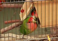 Emboîtement d'oiseaux d'amour Photos stock