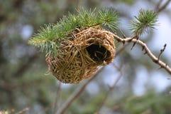Emboîtement d'un oiseau de tisserand. l'Afrique du Sud. Photos libres de droits