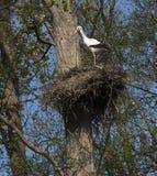 Emboîtement de ciconia de Ciconia de cigogne blanche Photographie stock