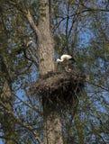 Emboîtement de ciconia de Ciconia de cigogne blanche Photo libre de droits