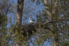 Emboîtement de ciconia de Ciconia de cigogne blanche Image libre de droits