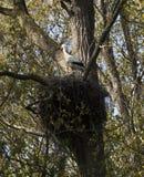 Emboîtement de ciconia de Ciconia de cigogne blanche Photos libres de droits