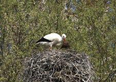 Emboîtement de ciconia de Ciconia de cigogne blanche Photo stock
