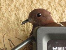 Emboîtement de colombe sur des oeufs Image stock