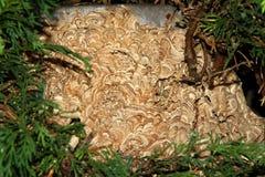 Emboîtement de guêpe. Image libre de droits