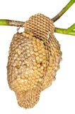 Emboîtement de guêpes Image stock