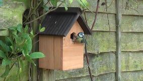 Emboîtement de mésange bleue d'oiseaux de jardin banque de vidéos