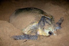Emboîtement de tortue d'imbécile sur l'Australie de Bundaberg de Repos de lundi de sable photos stock