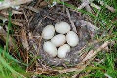 Emboîtement des oeufs de canard Photographie stock libre de droits
