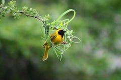 Emboîtement masqué de début de tisserand, Afrique du Sud Photographie stock libre de droits