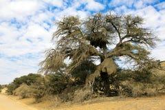 Emboîtement social d'oiseaux de tisserand dans un arbre Photos stock