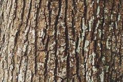 Embossed tekstura brąz barkentyna drzewny liszaj na nim fotografia royalty free