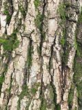 Embossed texture of the brown bark of a tree with green moss royalty free stock photography