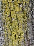 Embossed texture of the brown bark of a tree with green moss stock image