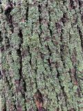 Embossed texture of the brown bark of a tree with green moss stock images