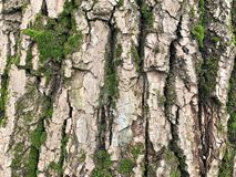 Embossed texture of the brown bark of a tree with green moss stock photography