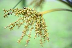 Embotelle la palma, fruta de la palma de betel de la palma de la cola de caballo Imagen de archivo libre de regalías
