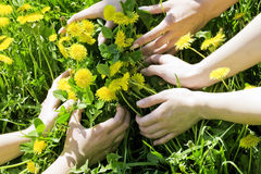 Embracing dandelions Royalty Free Stock Photography