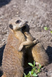 Embracing meerkats (Suricata suricatta) Royalty Free Stock Photography
